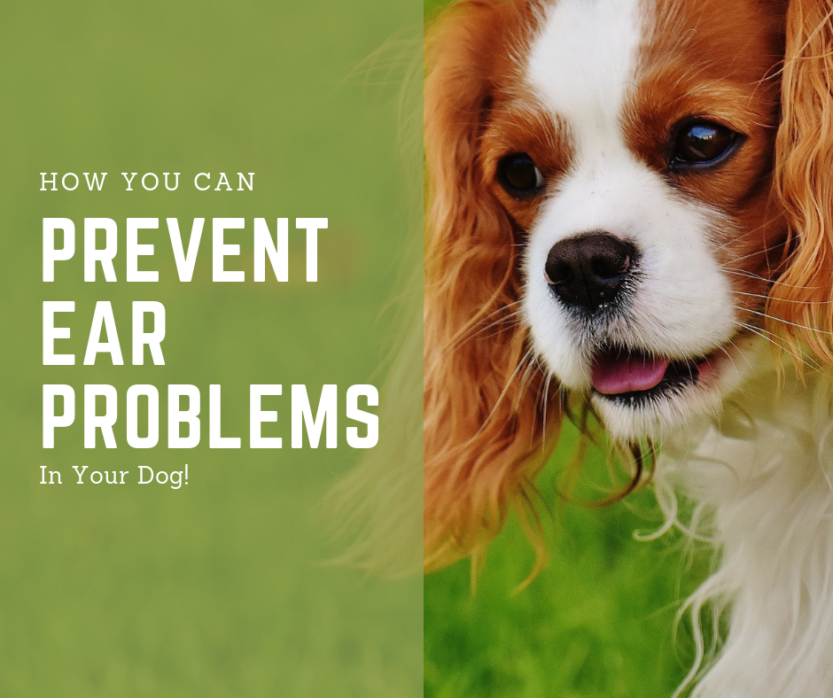Prevent Ear Infections in Your Dog! - My Wicked Tribe